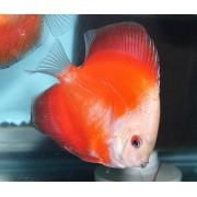 Acar�-disco Red Melon White Face 6 cm ( D16 )