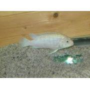 Labidochromis Ice 3 a 5 cm ( GALP ) - RsDiscus Aqu�rios