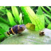 Bumblebee Goby 1,5 a 2 cm (NOVO) ( L11 )