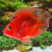 Papagaio Red and Black 5 a 6 cm  (NOVO)