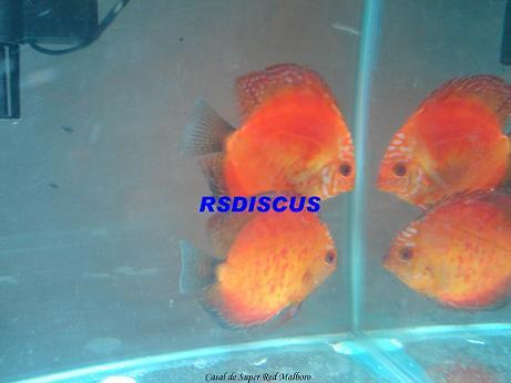 Acara-disco Super Red Malboro 5 a 6 cm