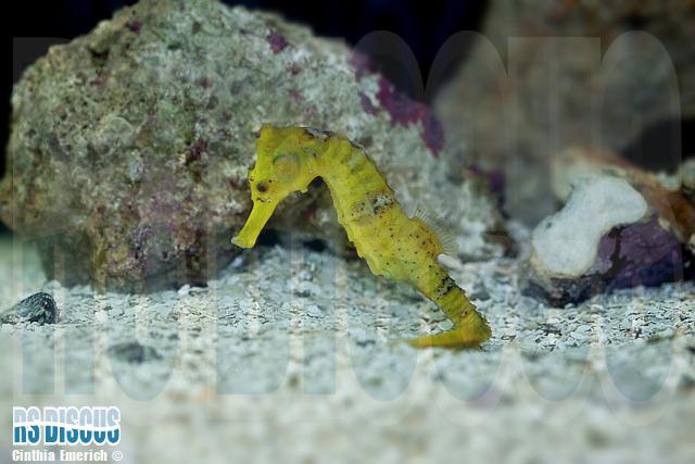 Cavalo Marinho (Hyppocampus angustus)