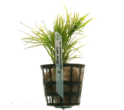 Planta Blyxa Vietii