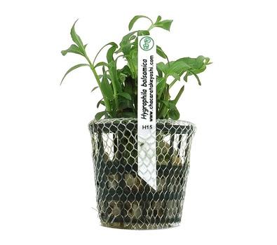 Planta Hygrophila Balsamica