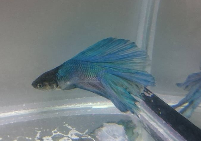 Betta Blue Halfmoon 4 a 5 cm (NOVO) (FOTO REAL DO PEIXE A VENDA )