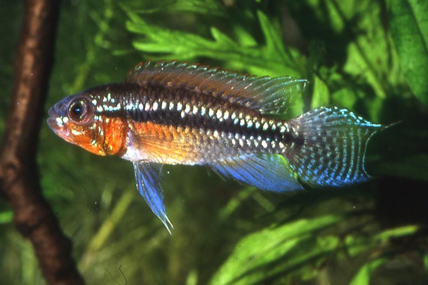 Apistogramma Paucisquamis Red 2 a 3 cm (NOVO)