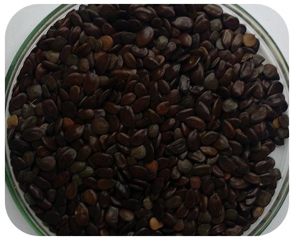 Sementes Leucena - Caixa com 3,0 kg