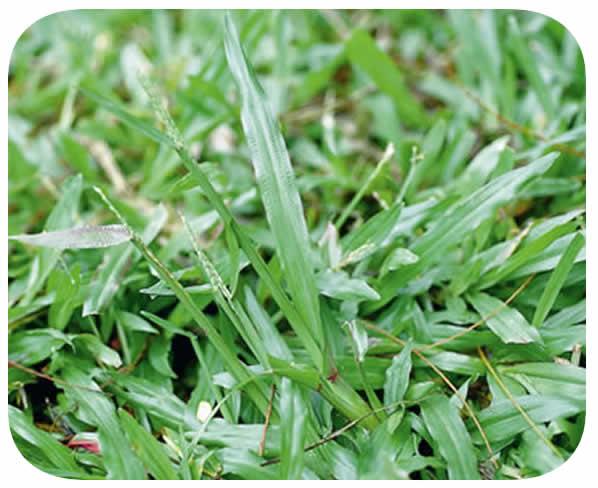 Sementes Grama São Carlos (Carpetgrass) - Caixa com 500 gr