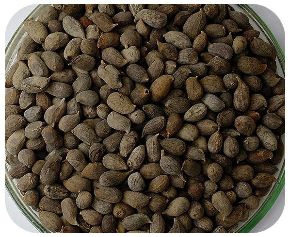 Sementes Amendoim Forrageiro - Caixa com 1,0 kg