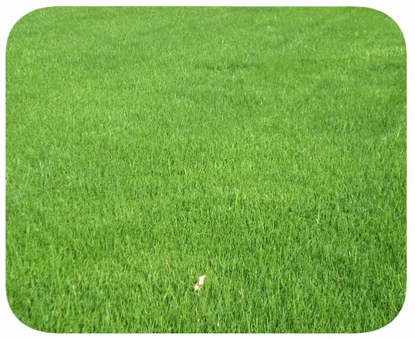Sementes Azevém Perene (PhD Ryegrass) - Caixa com 500 gr