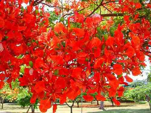 Sementes De Flamboyant Vermelho - 20 unidades