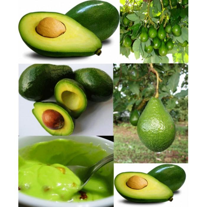Muda de Abacate enxertado 1 unidade - Persea americana - produz em 1 ano