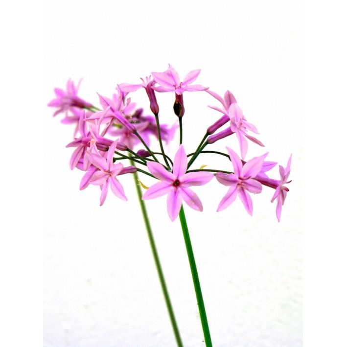 Tulbachia - Alho Social - Rosa/Violeta - cartela com 5 bulbos