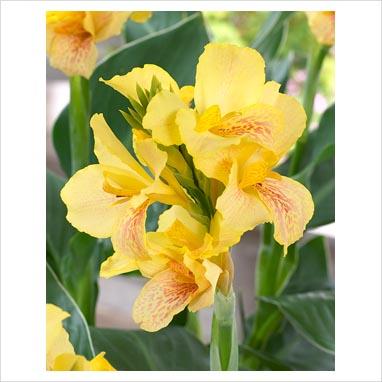 Canna Indica Ibiza Amarela - cartela com 1 rizoma