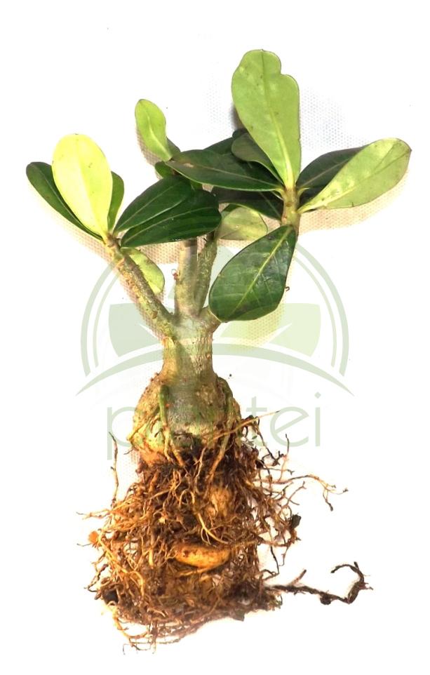 Muda de Rosa do Deserto Adenium Cor sortida com média de 20cm / 2 anos de idade