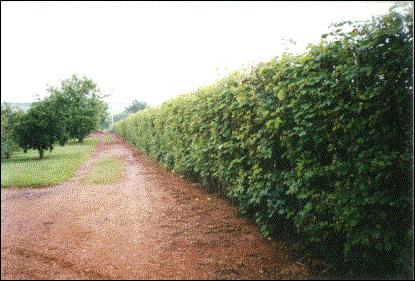 Sementes de Sansão do Campo (Mimosa caesalpiniifolia) 100g
