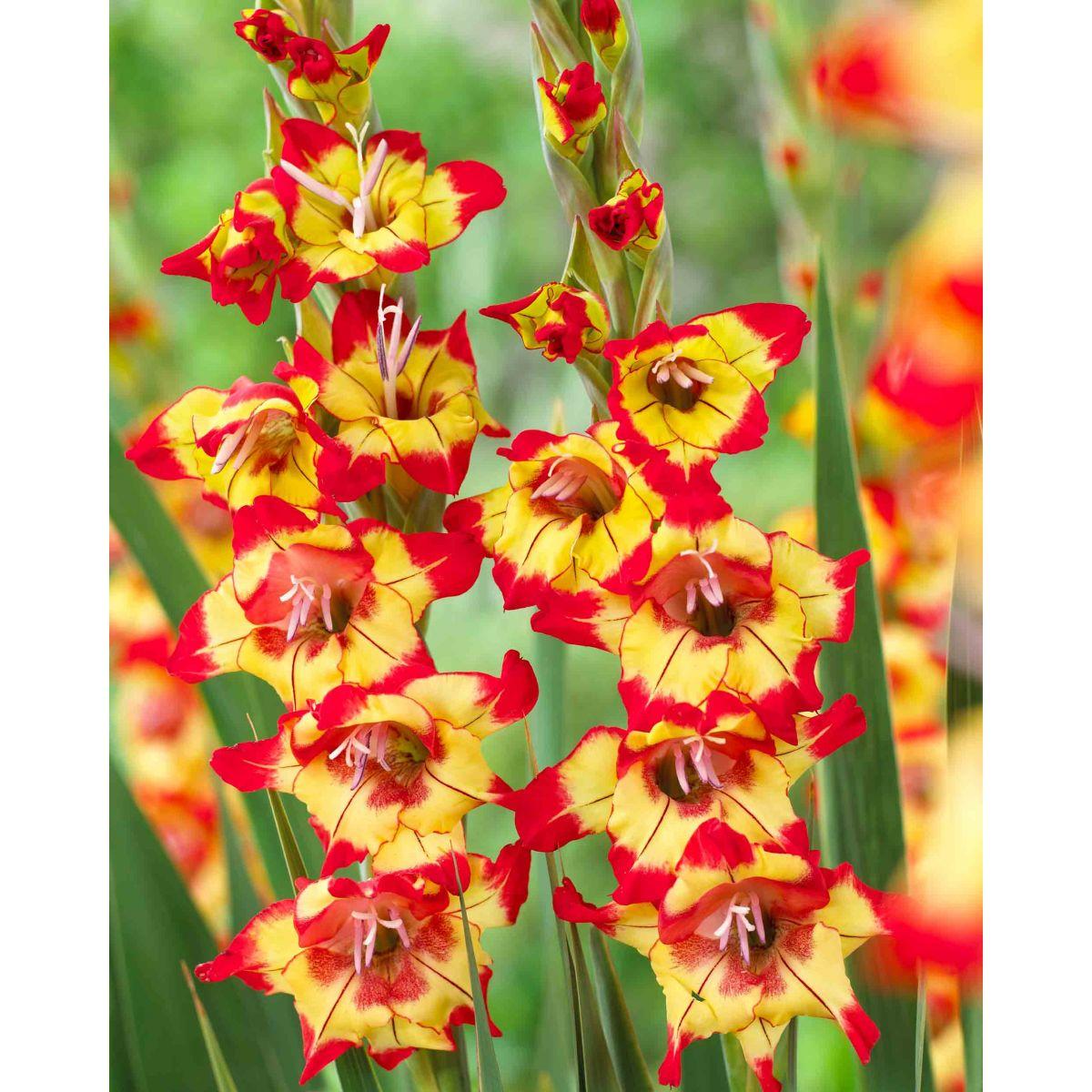 Gladíolos Farah Amarelo / Vermelho - cartela com 5 bulbos