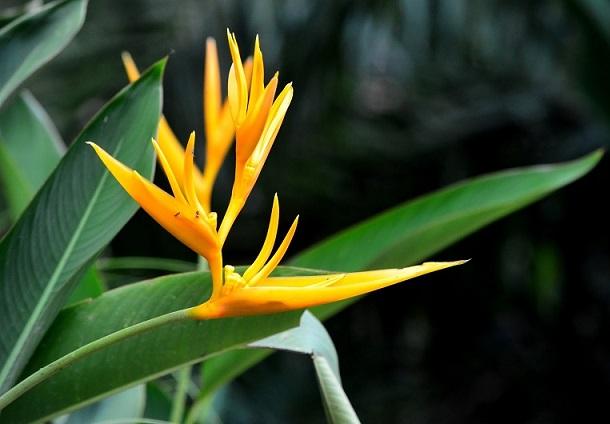 Helicônia Golden Amarela - cartela com 1 rizoma