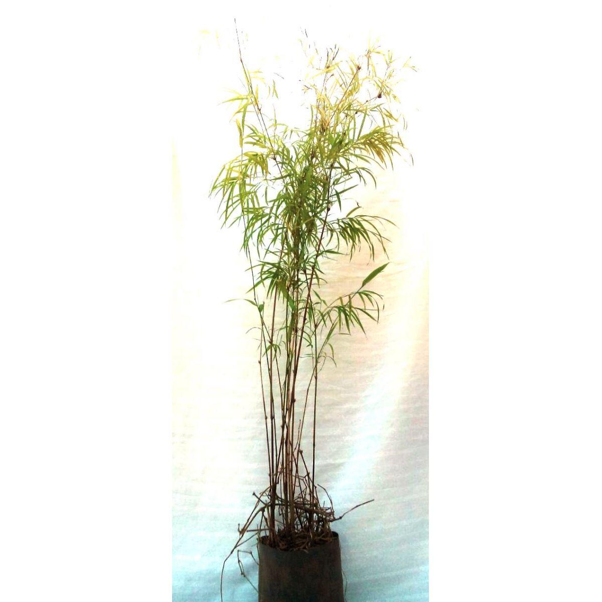 Muda de Bambuzinho Amarelo