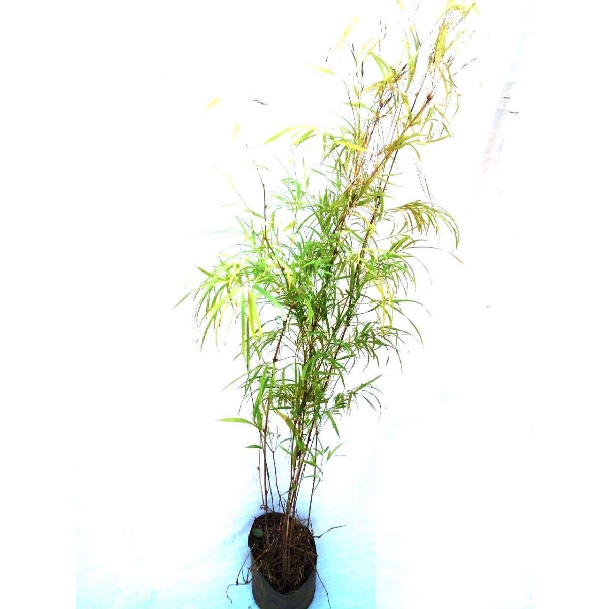Muda de Bambuzinho Verde