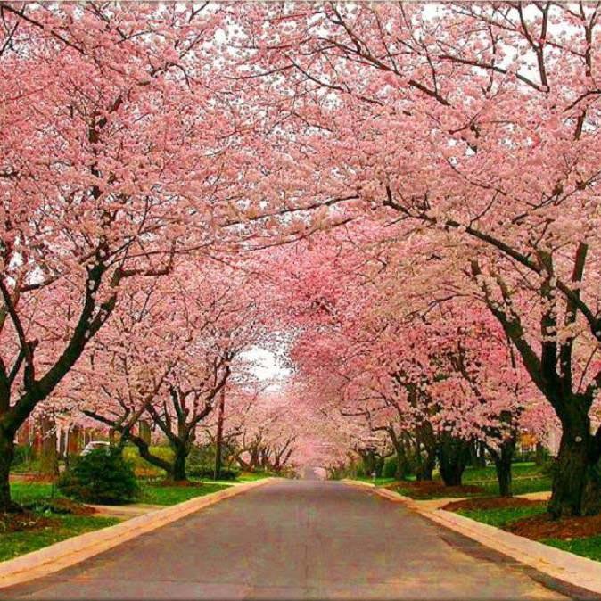 Muda de Cerejeira Japonesa Ornamental Sakura Salm�o