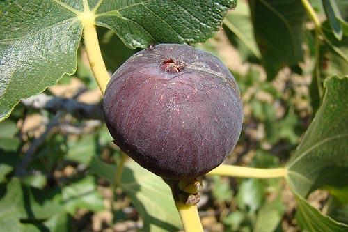 Muda de Figo Roxo de Valinhos