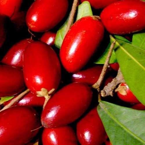 Muda de fruta do milagre 1 unidade - SYNSEPALUM DULCIFICUM