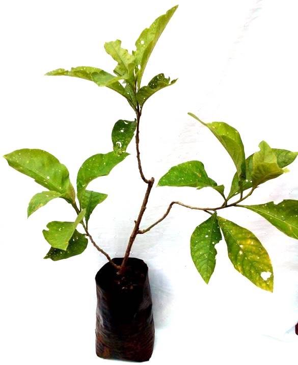Muda de Fruta do Sabi� ou Alegria dos P�ssaros a partir de 50 cm - Acnistus arborescens