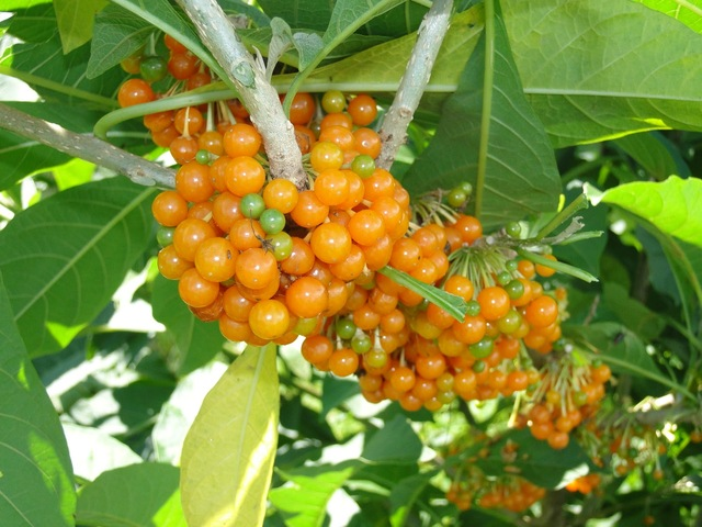Muda de Fruta do Sabiá de estaca produzindo