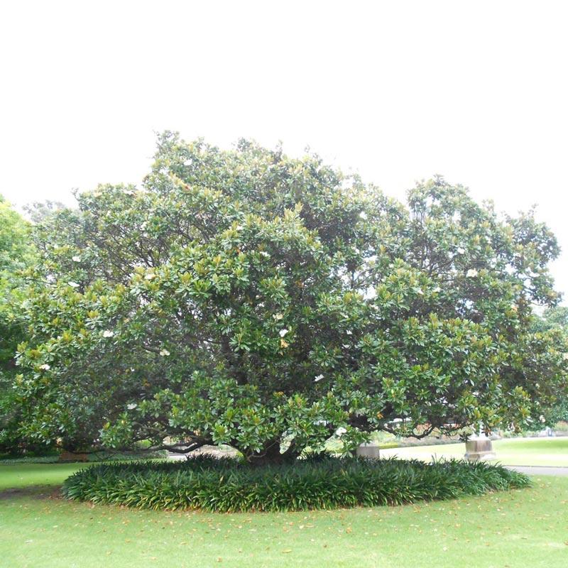 Muda de Magn�lia Branca - Magn�lia Grandiflora
