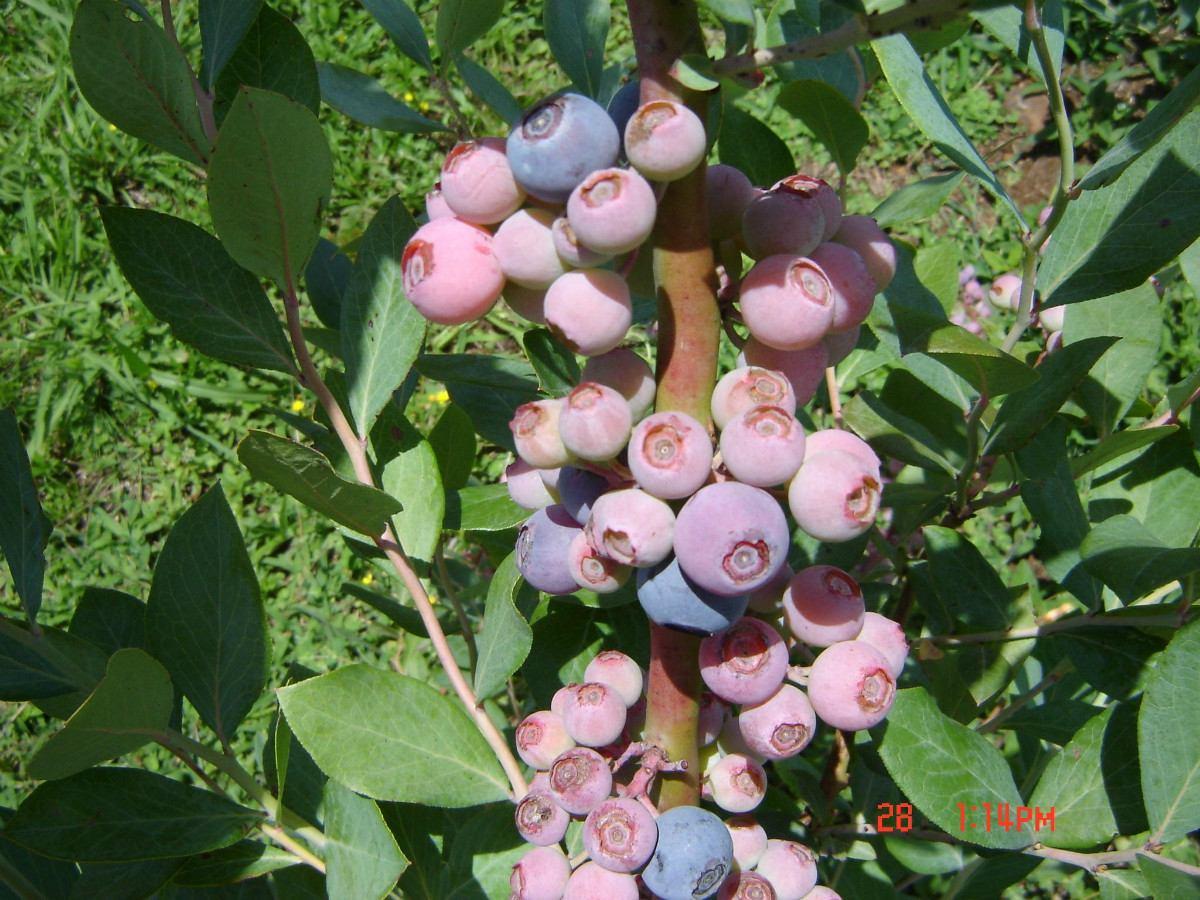 Muda De Mirtilo (blueberry) Woodard produzindo