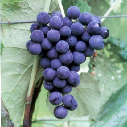 Muda de Uva Vênus sem sementes enxertada