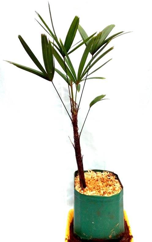 Palmeira Raphis ou R�fia aproximadamente 80cm