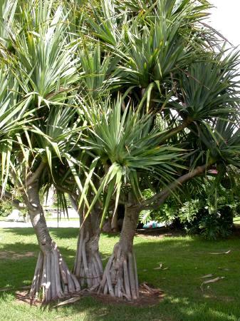 Pandanus Utilis - aproximadamente 60 cm