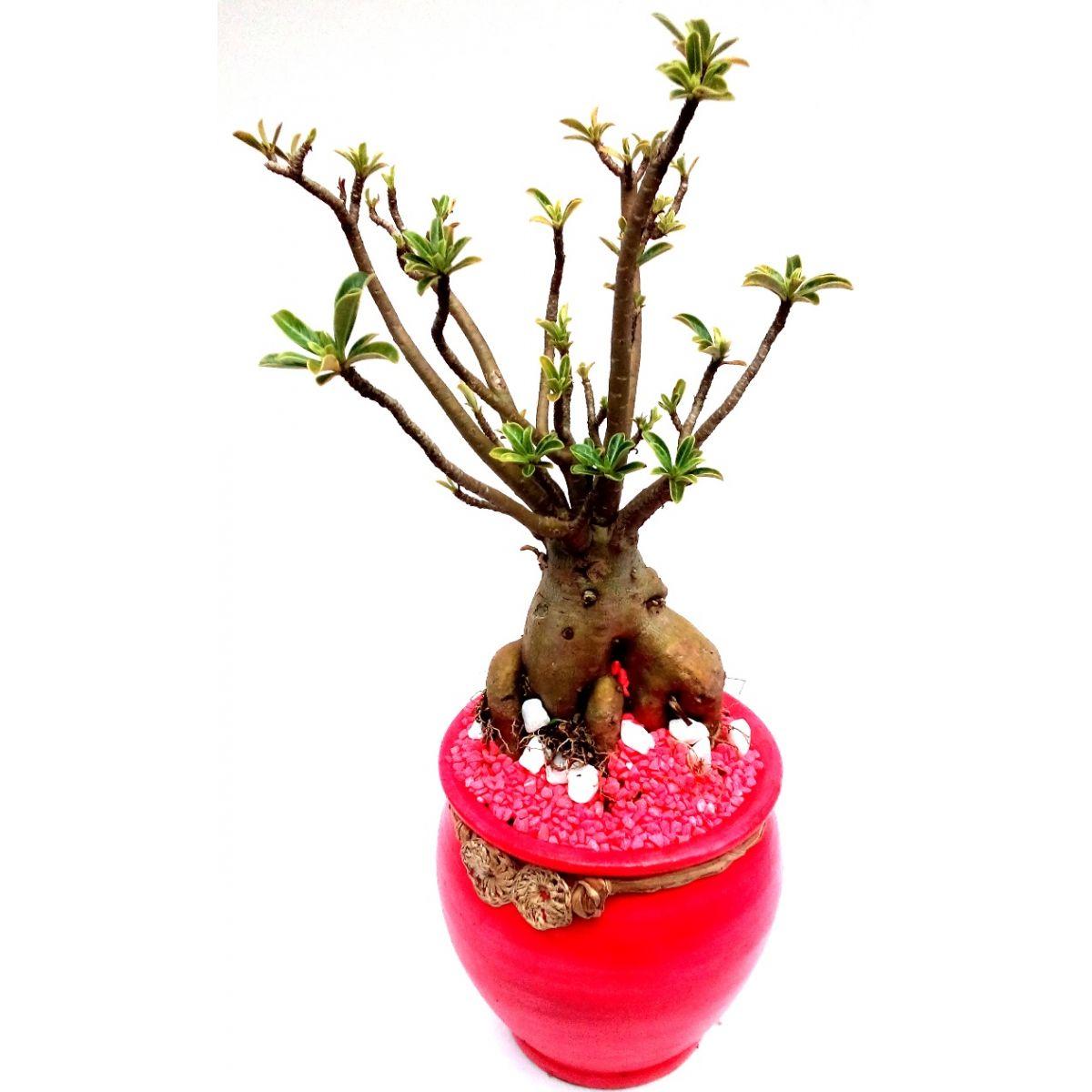 Rosa do Deserto plantada em vaso decorativo rosa com pedrinhas decorativas rosa