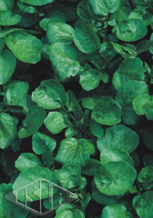Sementes de Agri�o da �gua folha larga - Isla Superpak
