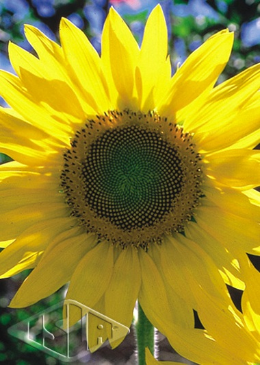 Sementes de Girassol de Jardim Amarelo Alto - Isla