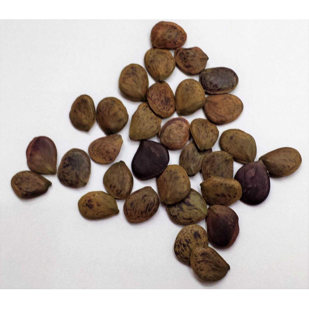 Sementes de Pau Brasil Verdadeiro - Caesalpinia Echinata - 20 unidades