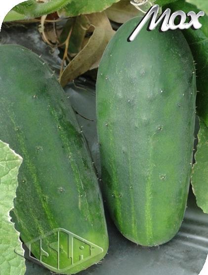 Sementes de Pepino Green Pick - Isla Superpak