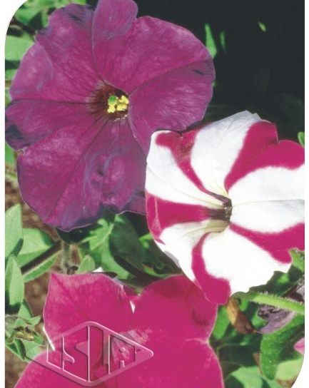 Sementes de Pet�nia F2 Sortida - Isla Superpak