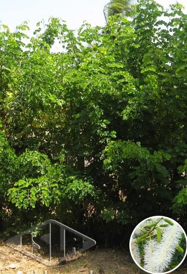 Sementes de Sansão do Campo/Cerca Viva - Isla