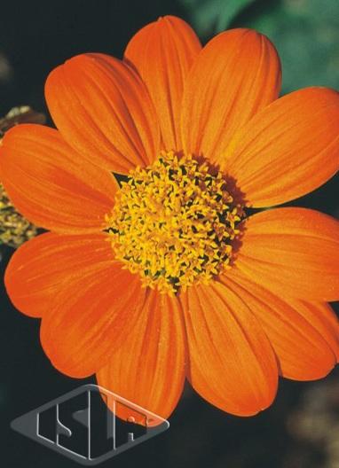 Sementes de Tithonia Girassol Mexicano - Isla Multi