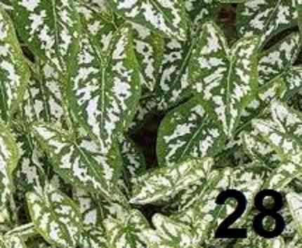 Bulbos De Caladium Bronze 51 Caládio Tinhorao Belli Plantas  - BELLI PLANTAS