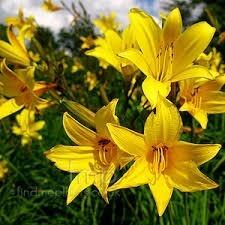 Mudas de Lirio Do Dia Dourado Amarelo Lírio Hemerocallis Bulbos Lírio de São José  - BELLI PLANTAS