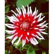 Bulbos De Dálias Cactus Duas Cores Vermelha Dahlia Gigante