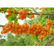 Sementes de Fruta De Sabiá 250 unid Atrai Pássaros