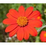 Sementes De Margarida Mexicana Apícola Thitonia Rotundifolia