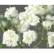 Sementes De Mosquitinho Branco Buque De Noiva Gipsofila