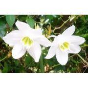 Bulbos De Lírio Do Amazonas Lirio Estrela Dalva Eucharis grandiflora Estrela de Belém e Estrela da Anunciação