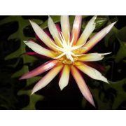 Mudas De Dama Da Noite Sianinha Cryptocereus Epiphyllum Selenicereus anthonyanus Cactos orquídea Sete Cores Cactos Sianinha Zig-zag